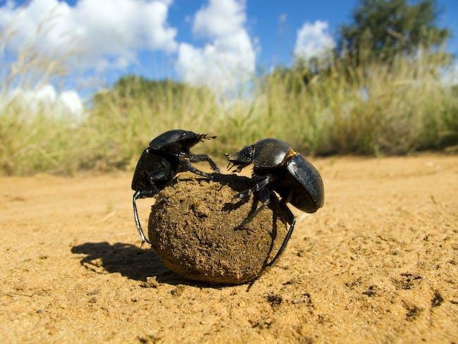 Fighting dung beetles