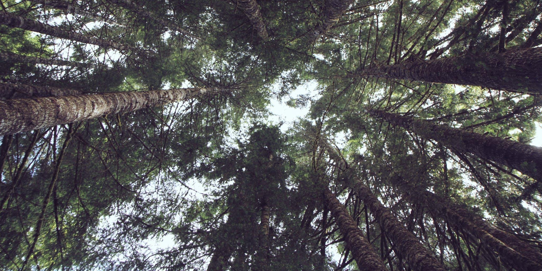 A grove of Douglas Fir trees