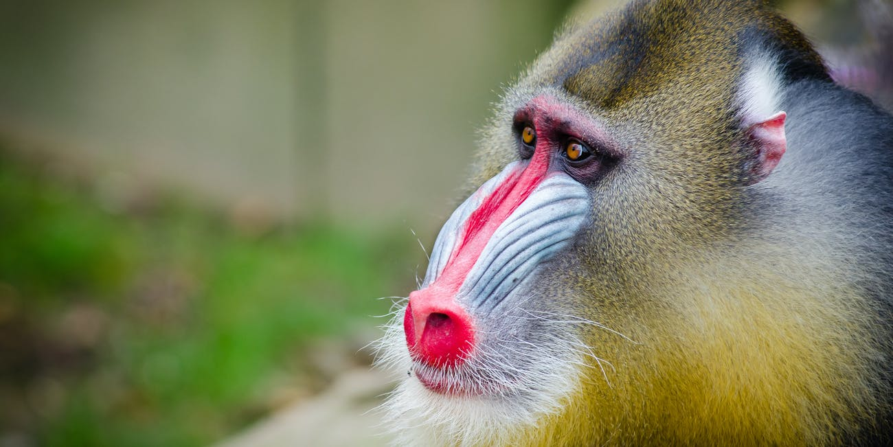 mandrill poop fecal matter monkey primate social behavior