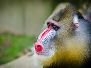 Mandrills Can Teach Humans a Lesson in Disease Prevention