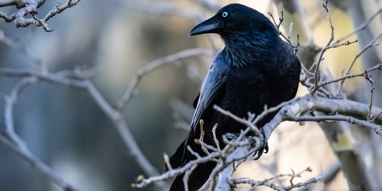 Image result for crows""