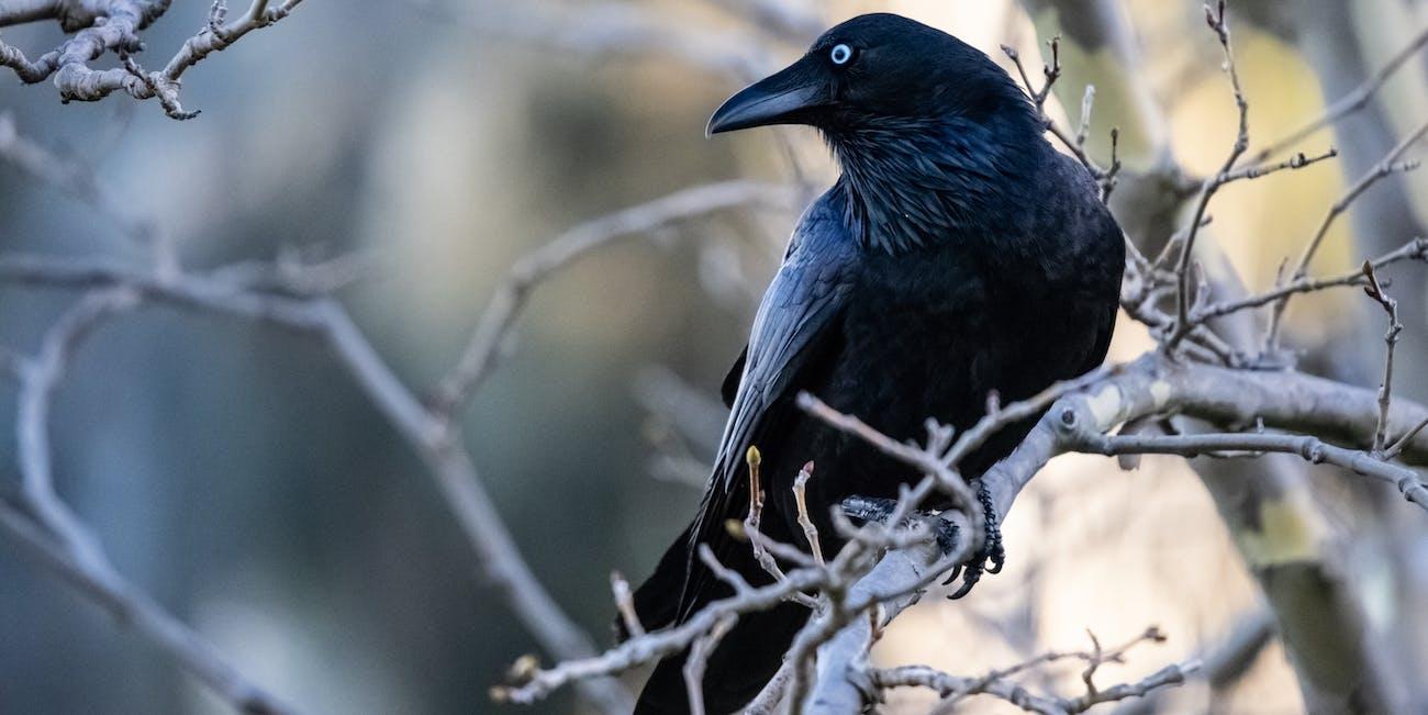 Smart Crow