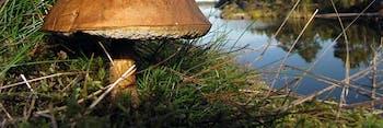 Boletus in Finnish forest