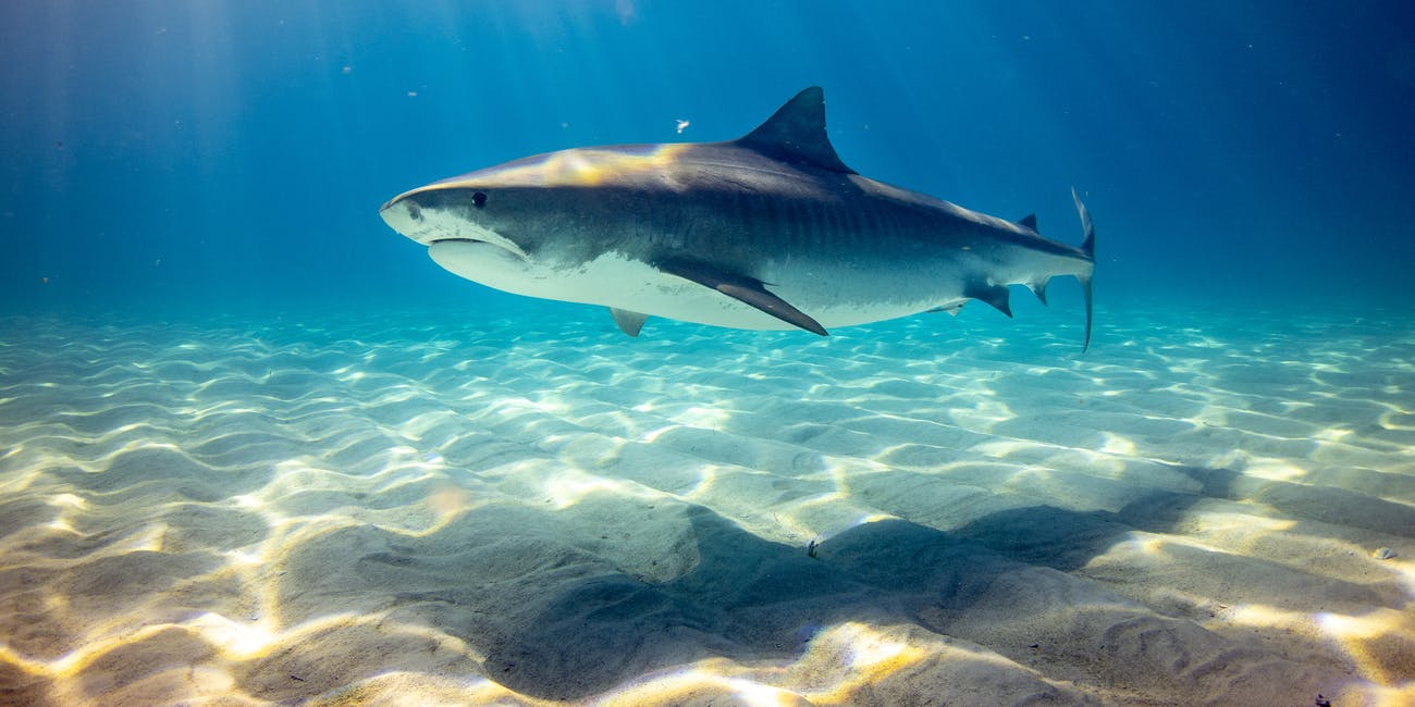 Big Sharks Keep Disappearing From Shorelines, and That's a Problem