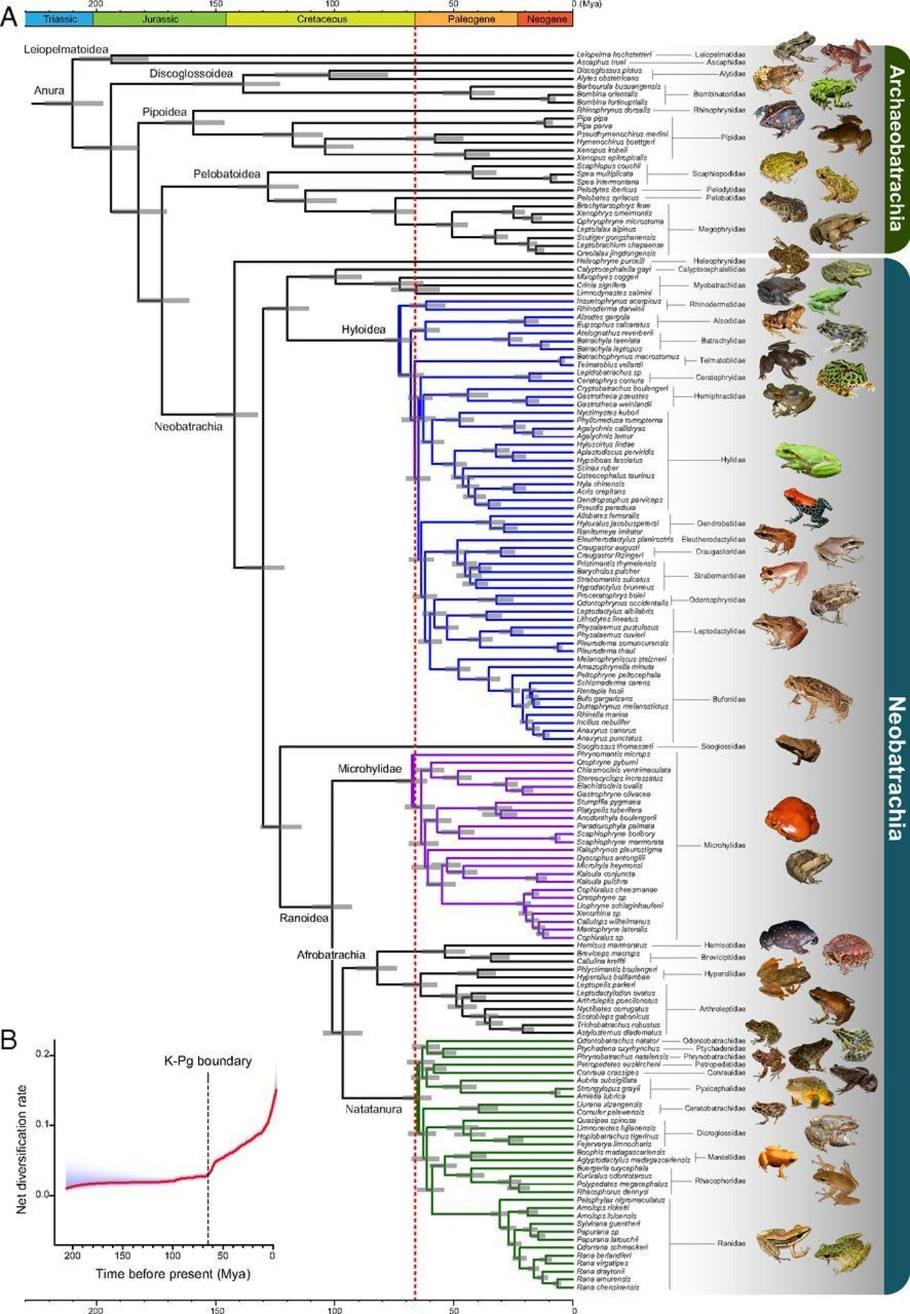 Time-calibrated phylogenetic tree of frogs and the pattern of net diversification rate across time.