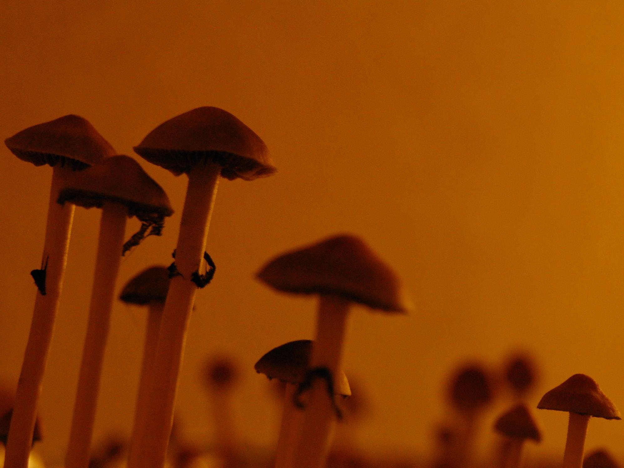 The Latest Prescription Psychedelics Idea? Treat Addiction With Magic Mushrooms