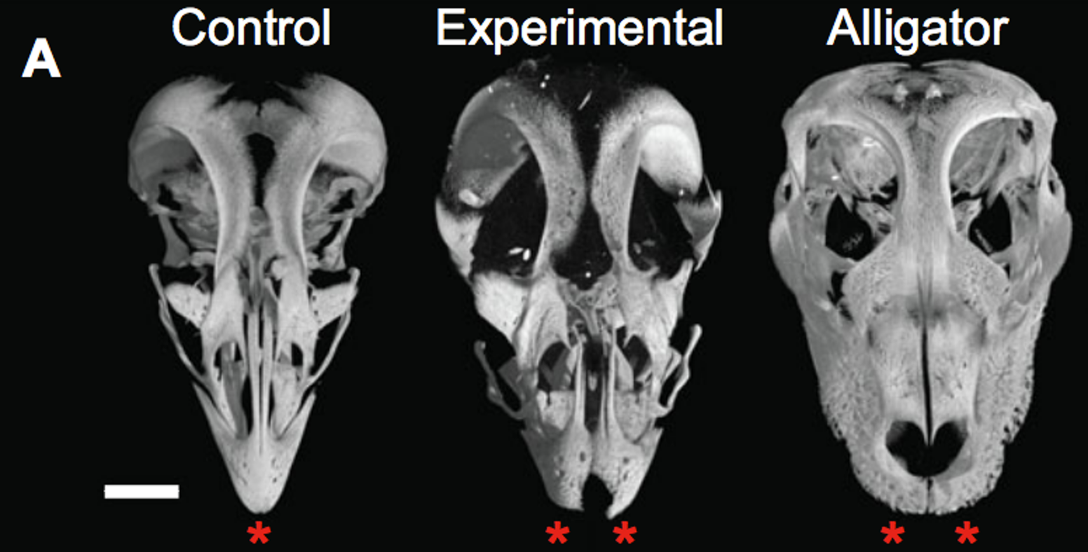 Imaged skulls of a chicken, Bhullar et al.'s experimental chicken, and an alligator.