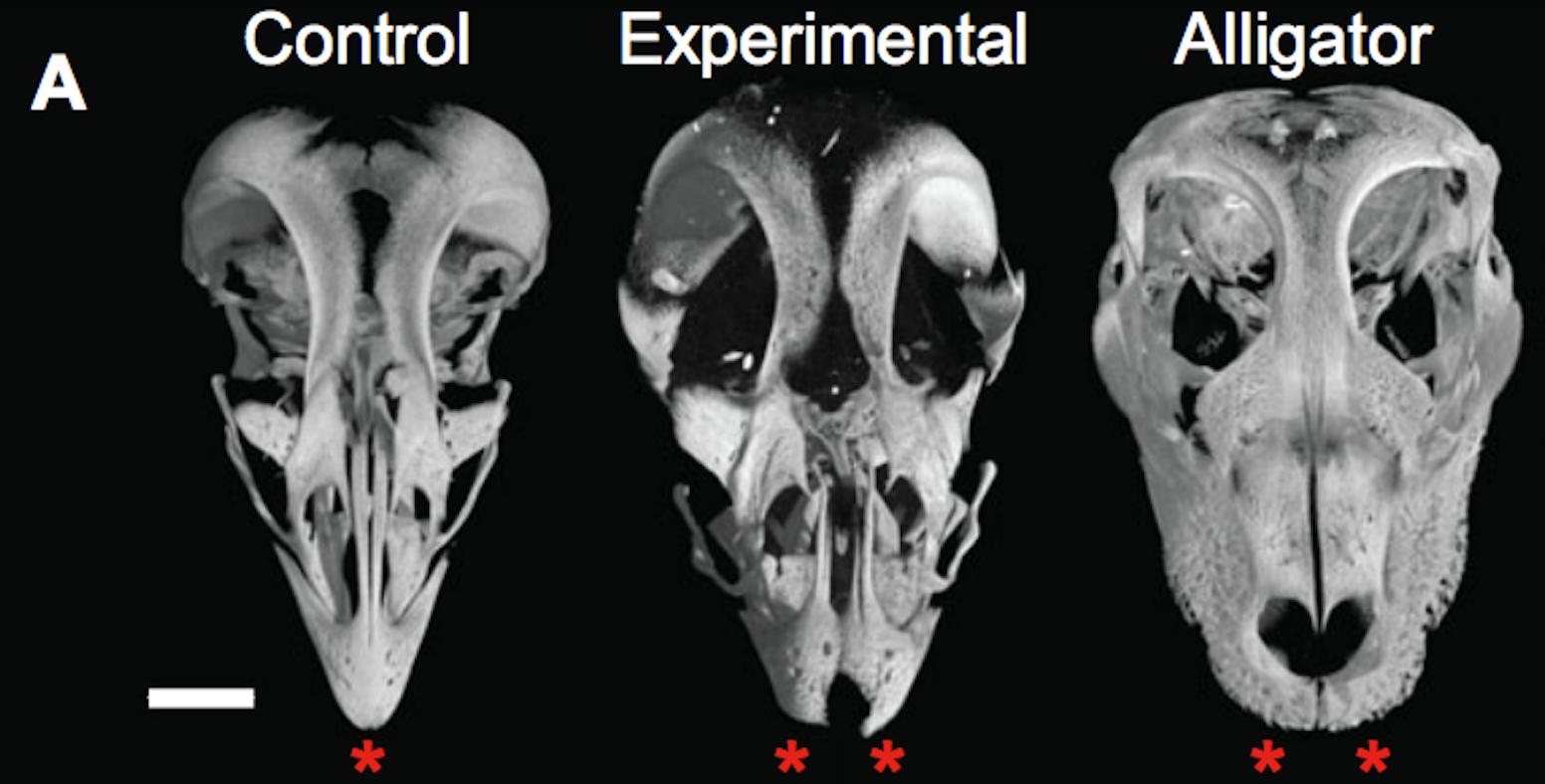 Imaged skulls of a chicken, Bhullar et al.'s experimental chicken, and an alligator.