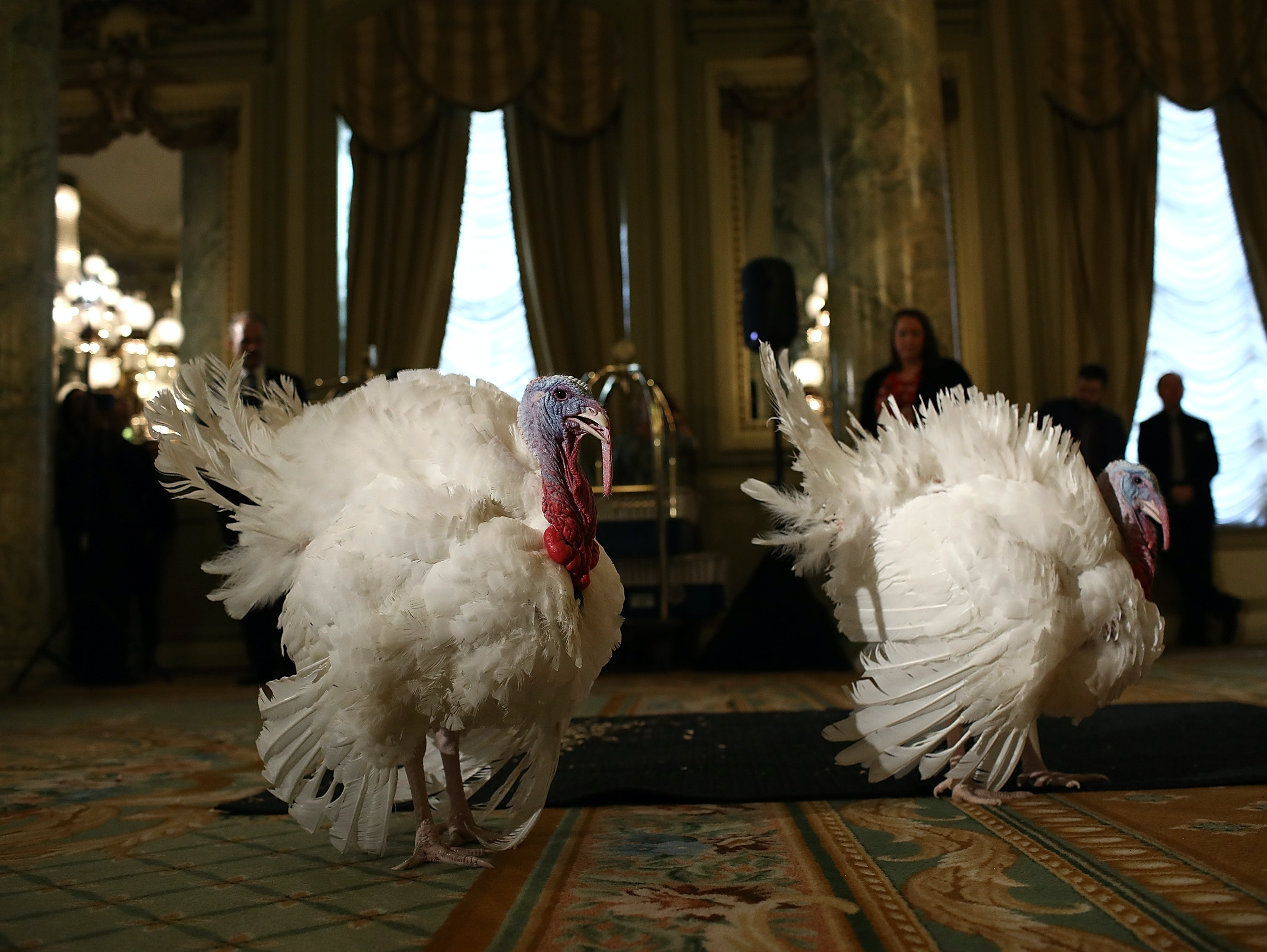 Two White House turkeys prepare to be pardoned before the inevitable.