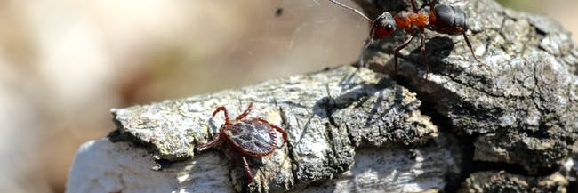 Ixodid tick Dermacentor reticulatus
