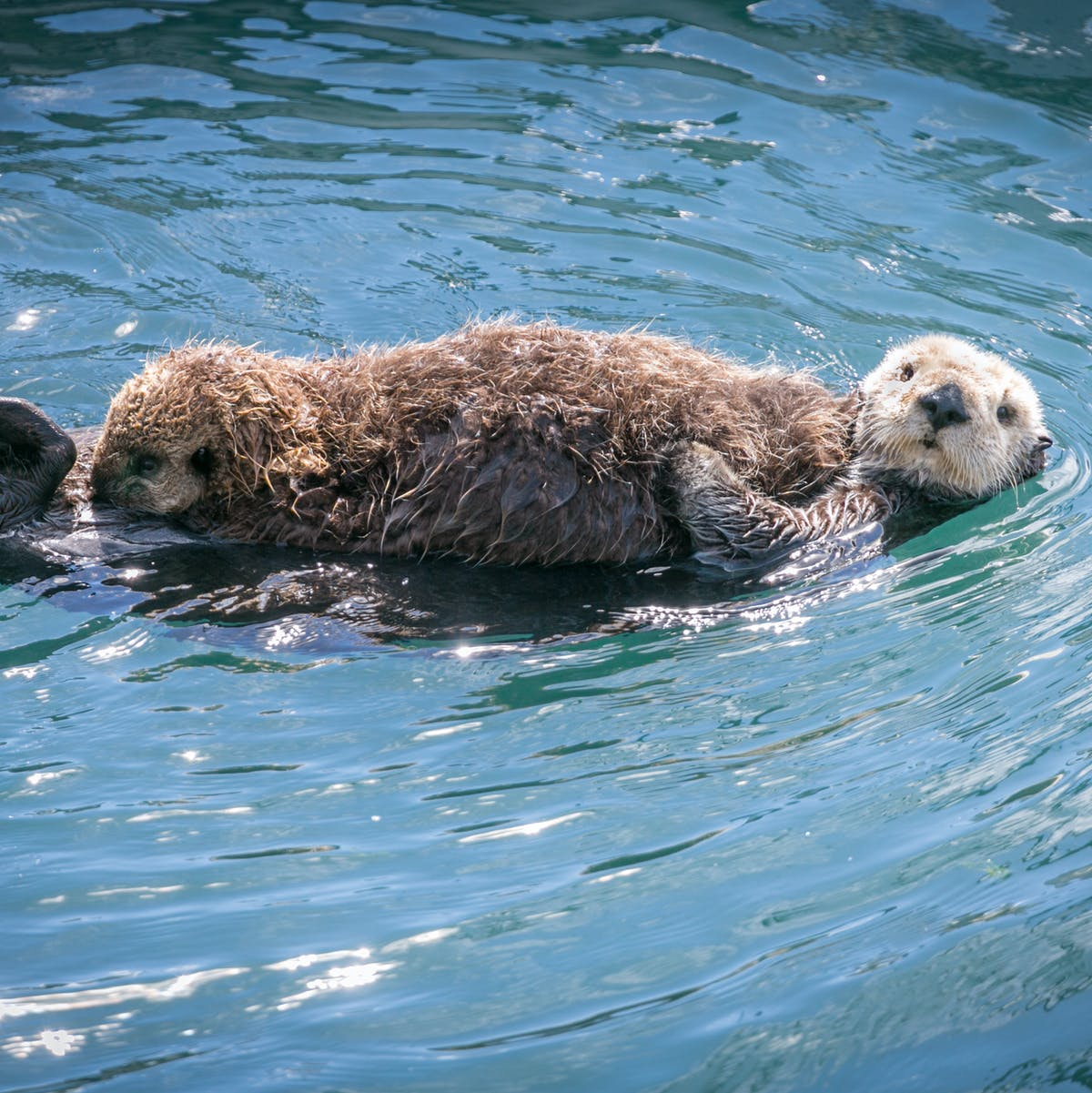 Sea otters are cute as heck, but they have an even more important quality
