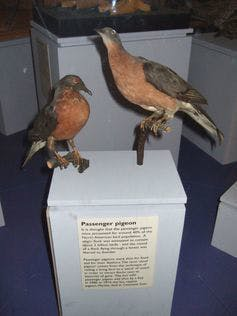 Now the only place you'll see a passenger pigeon is stuffed in a museum.