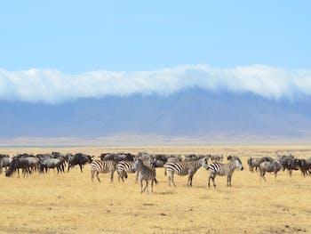 serengeti zebra animals wildlife