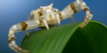 Thomisus sp crab spider - Gorongosa National Park, Mozambique