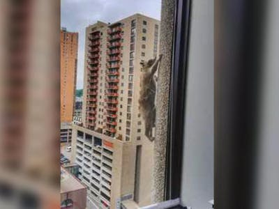 Raccoon climbs skyscraper