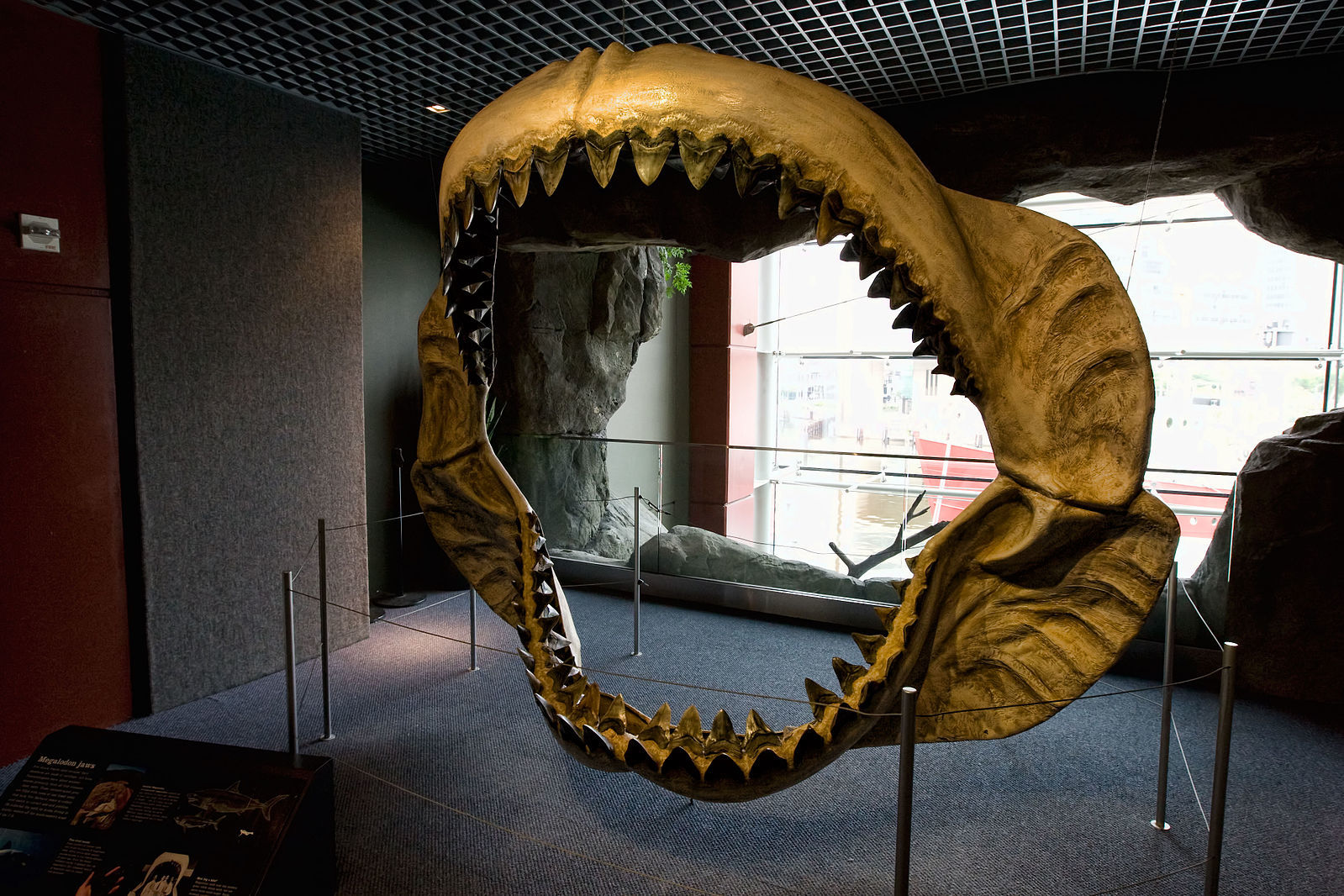 A cast of megalodon jaws.