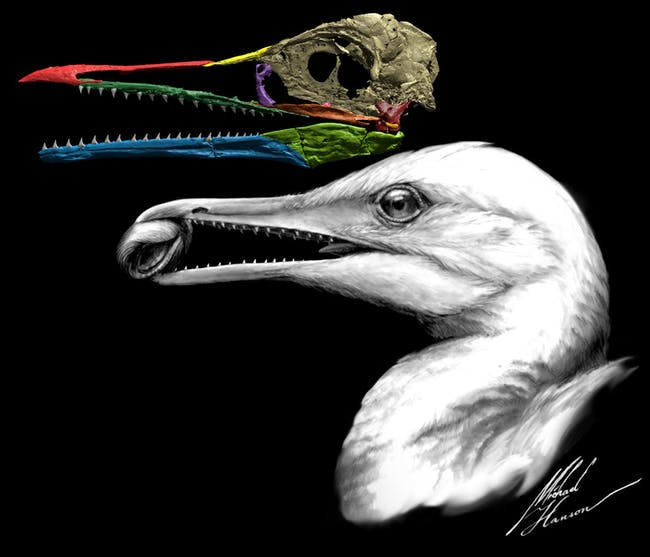 Ichthyornis dispar may be the missing link between dinosaurs and beaked birds.