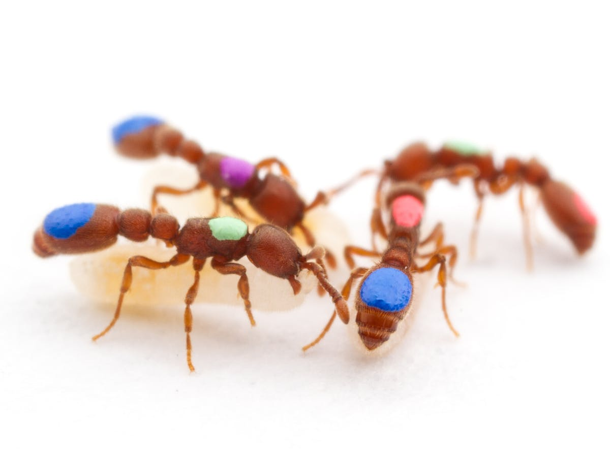 Teamwork in Ant Societies Puts Human Governance to Shame in New Study