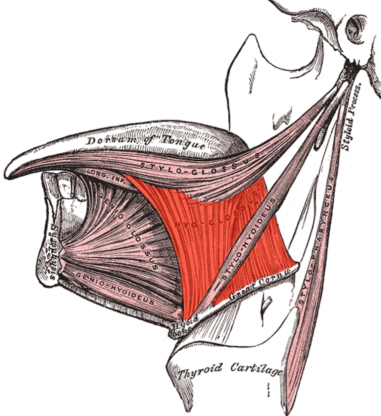The tongue's extrinsic muscles are what anchors it to bones like the jaws and other parts of the skull.