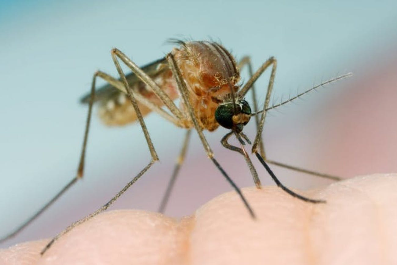 Why Do Mosquitos Buzz, Anyway? Science Explains | Inverse