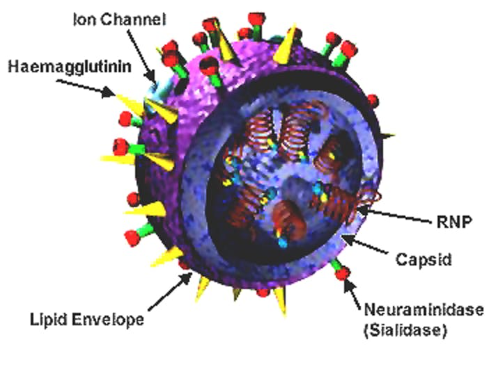 flu model