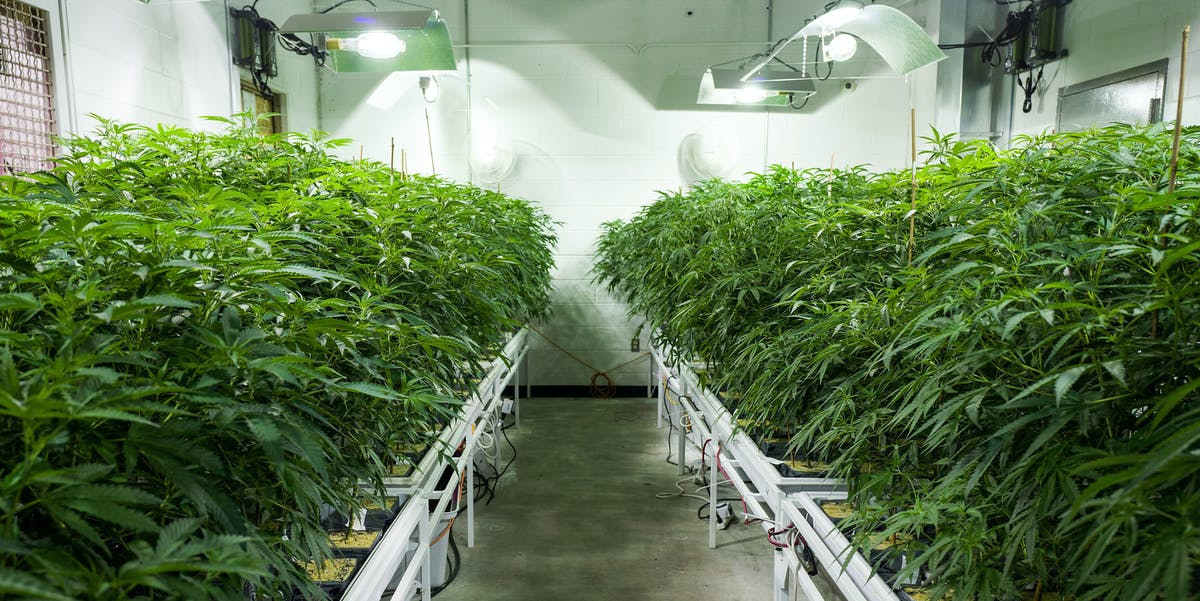 Cannabis plants grow in the 'vegetation room' at Vireo Health's medical marijuana cultivation facility in New York.