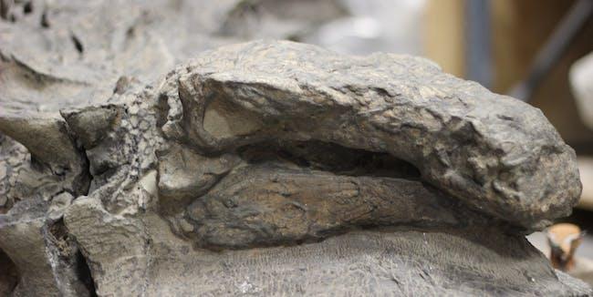 royal tyrrell museum nodosaur borealpelta markmitchelli