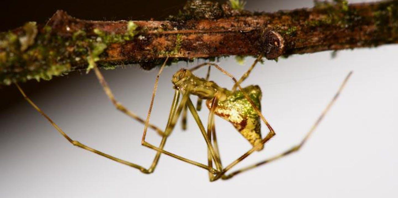Spider, evolution, Hawii