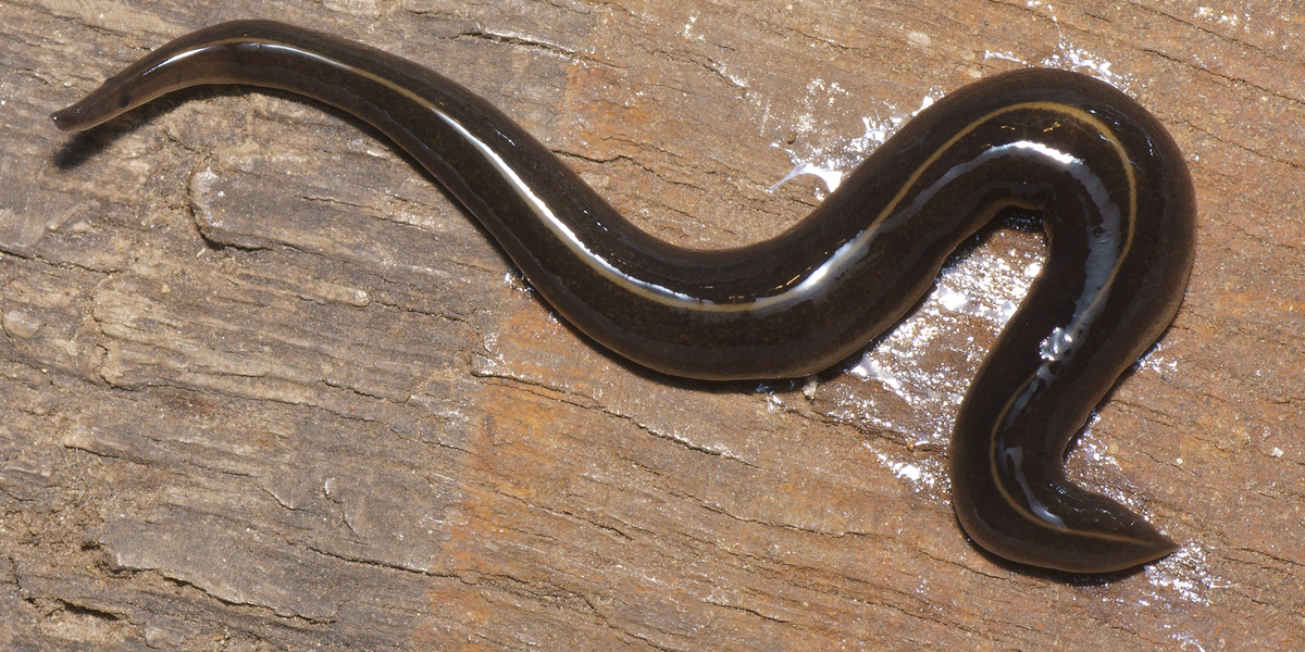 flatworm article