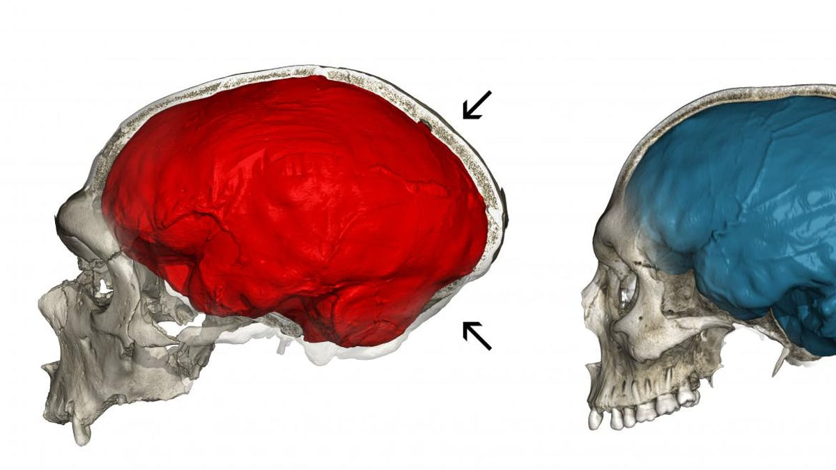 Neanderthal Genes Explain The Roundness Of Modern Human Brains Inverse