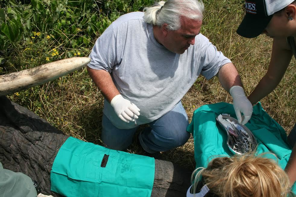 Manger performs field surgery on one of the elephants.