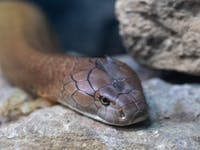 King Cobra Closeup