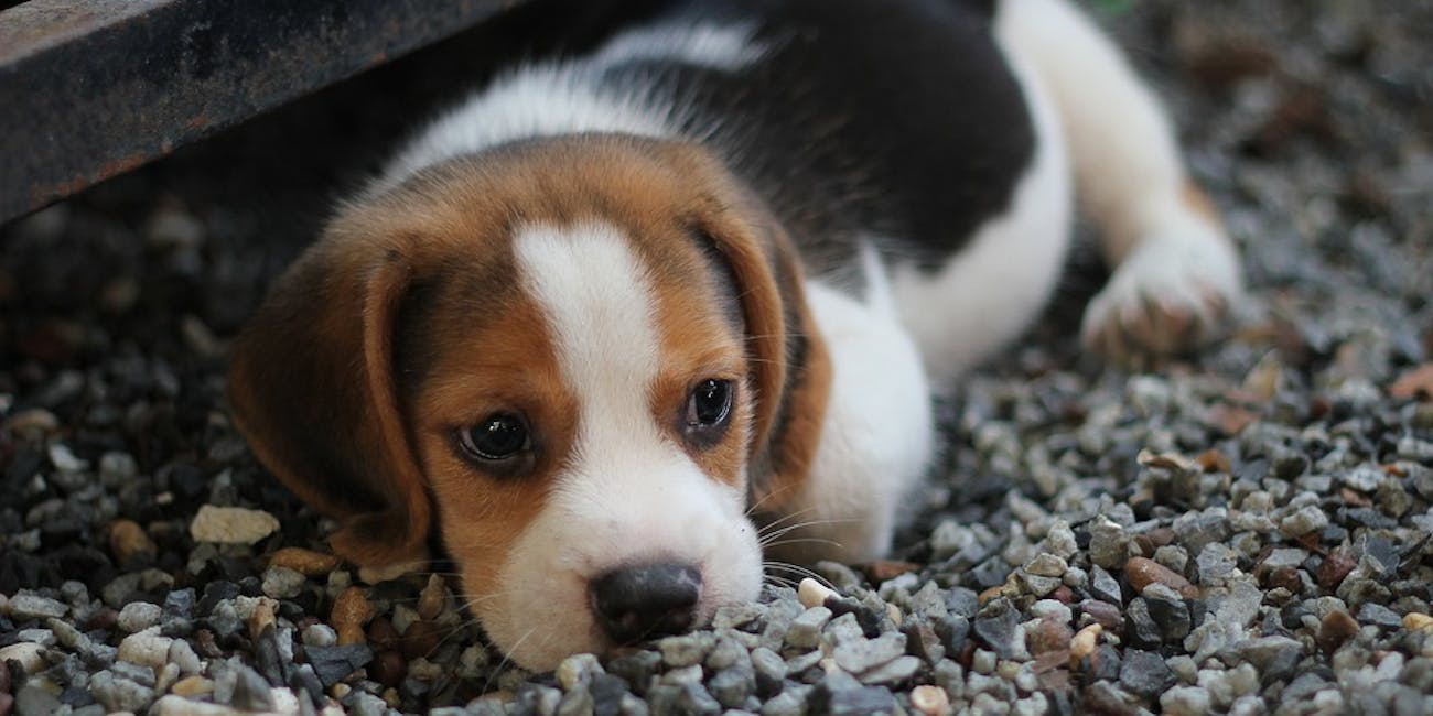Cdc Puppies Caused Antibiotic Resistant Infection In 118 People