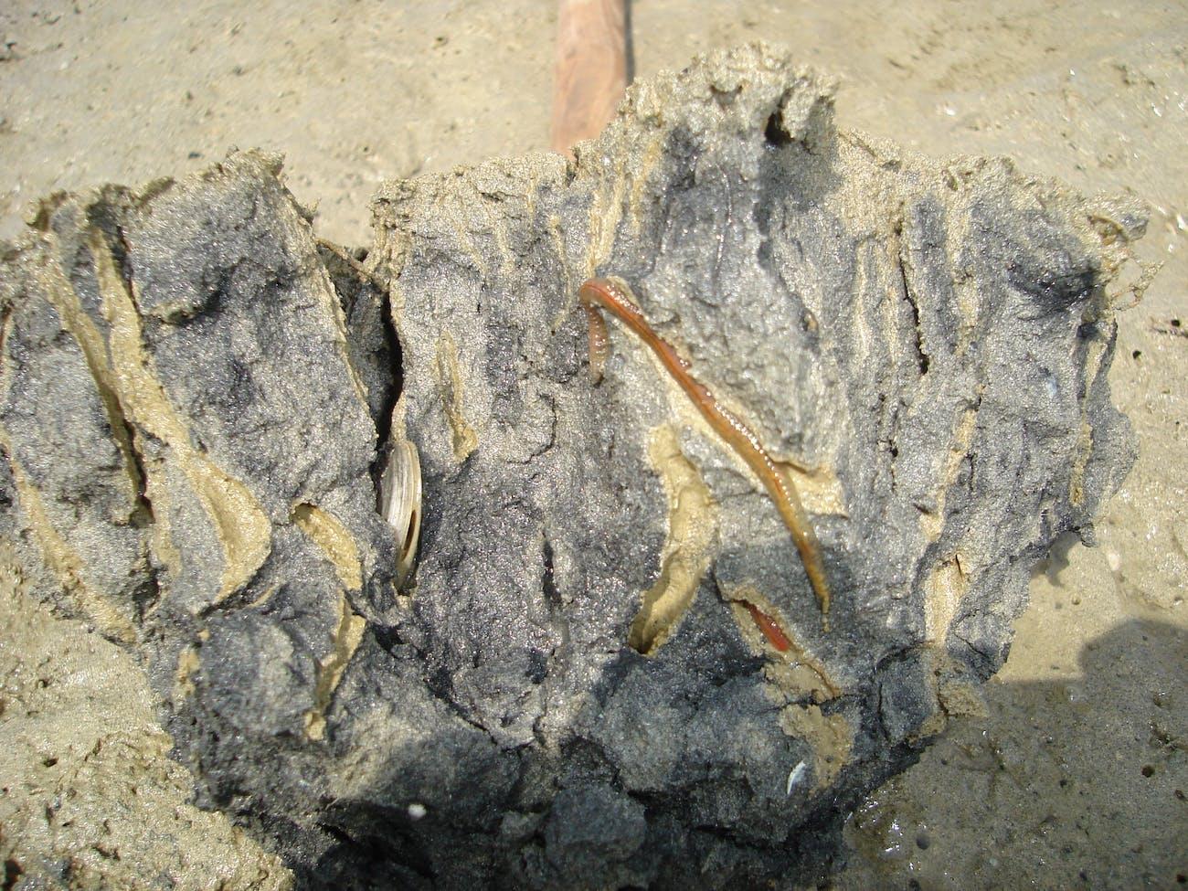 bioturbating worms
