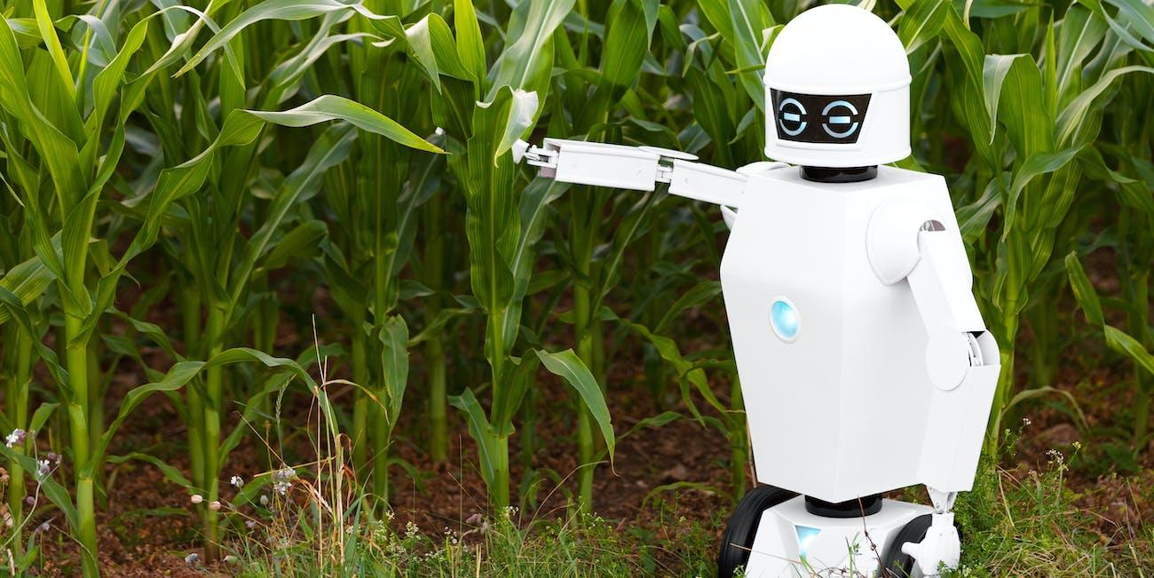 Robot near corn crops