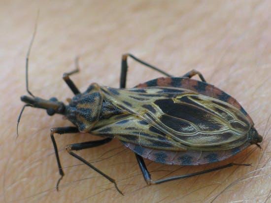 chagas disease parasite