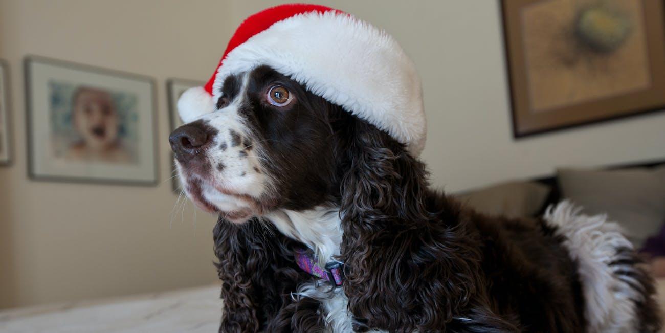Casey in Santa cap