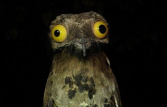 05-potoo_bird-barnorama