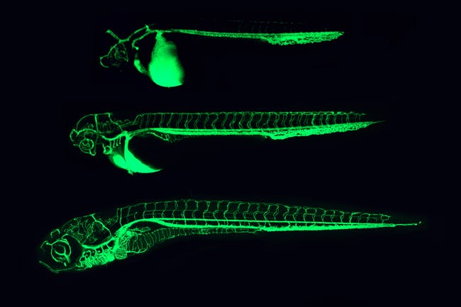 Zebrafish blood vessels