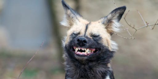 African Wild Dogs Use Sneezes To Vote In Democratic Like