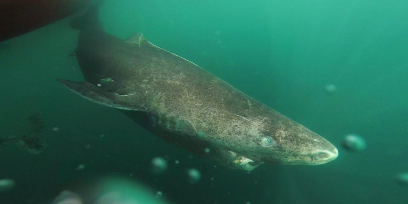 greenland shark oldest vertebrate