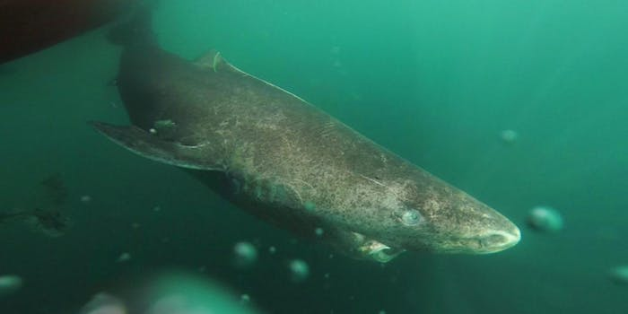 greenland shark oldest vertebrate