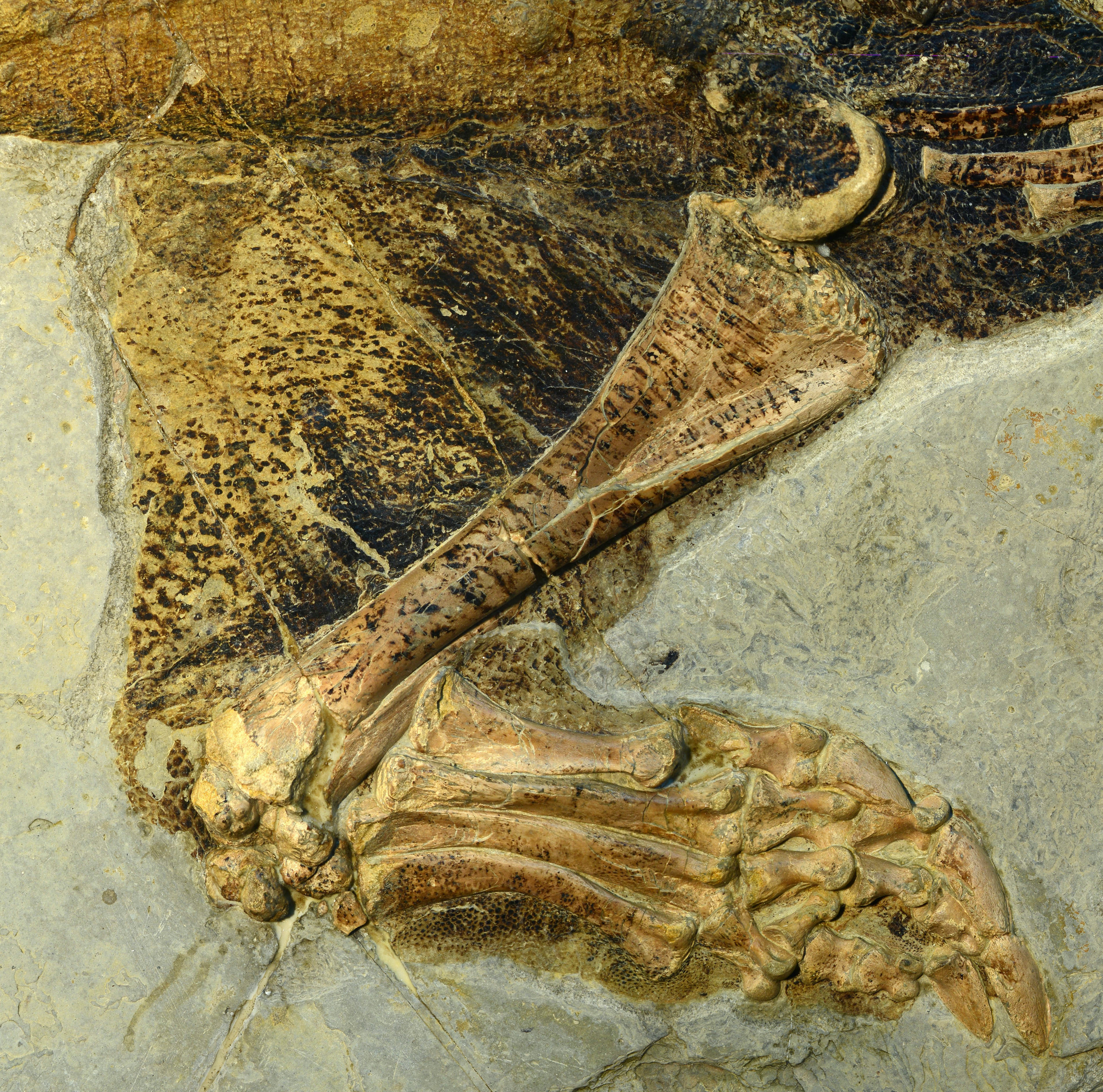 The detail of skin preservation on this 'Psittacosaurus' hindlimb fossil is spectacular.
