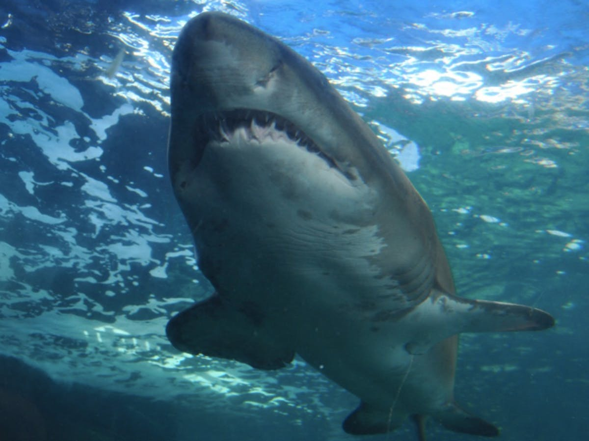 Shark Week: Here Is the Wild Physics of a Shark Leap | Inverse