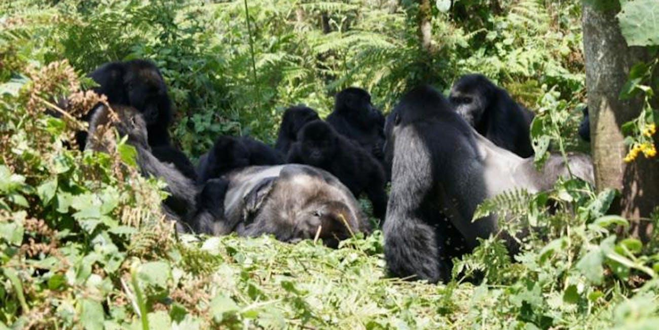 gorillas, death