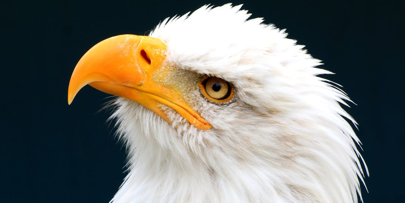 Bald eagles are on the rebound.