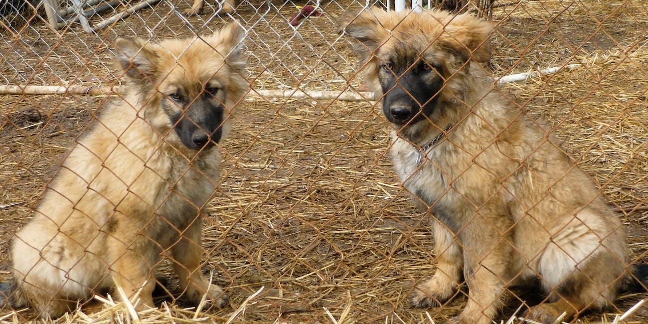 dire wolf project american alsatian puppies