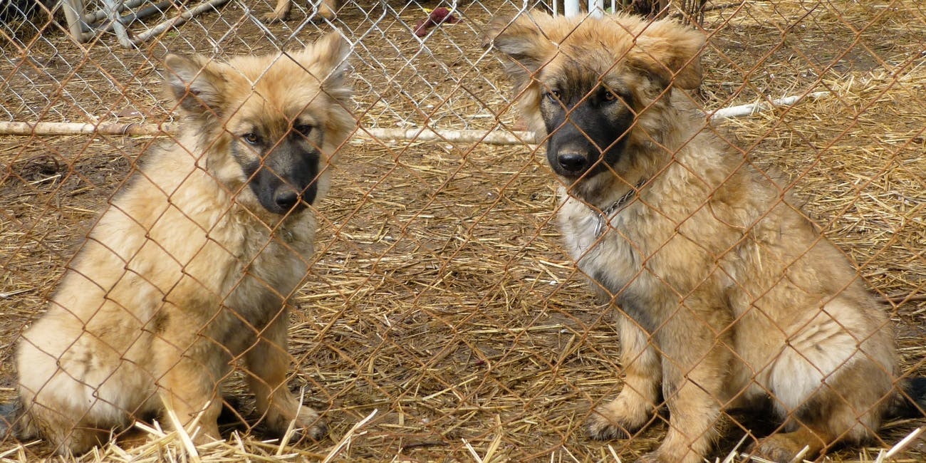 dire wolf project american alsatian puppies