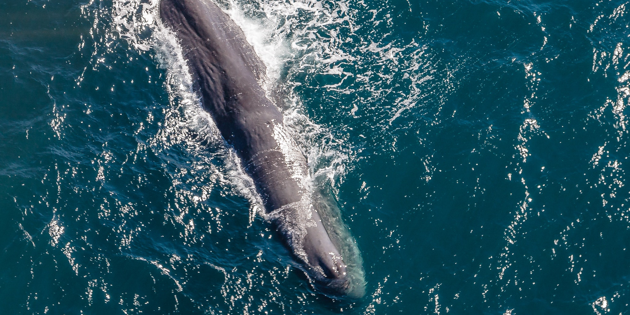 Huge Sperm Whale Reduced to Empty Carcass After Ingesting 64 Lbs of Plastic