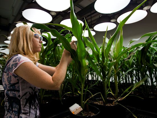 Genetically Modified Crops to Feed a Hungrier World